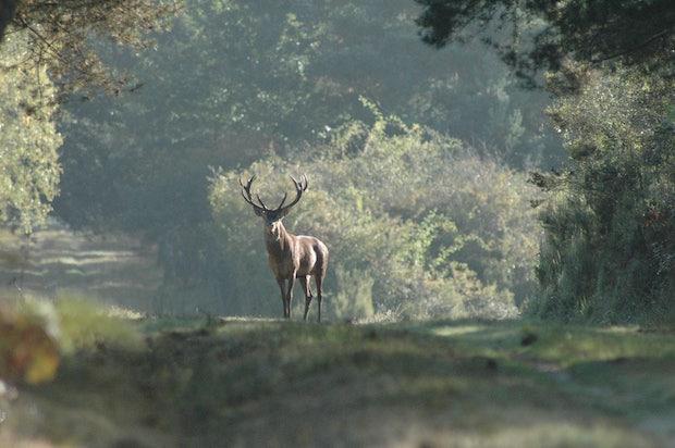 La majorité des cerfs élaphes présents aujourd'hui sur le territoire français sont issus de la souche chambourdine. Photo Domaine national de Chambord